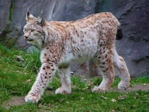 Eurasian Lynx Photos