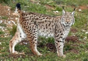 Eurasian Lynx Pictures