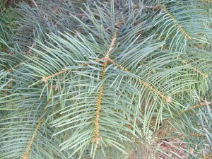 Concolor Fir Needles