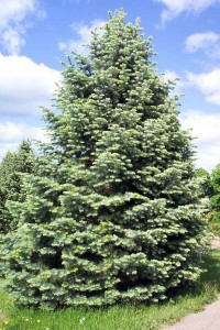 Concolor Fir Pictures