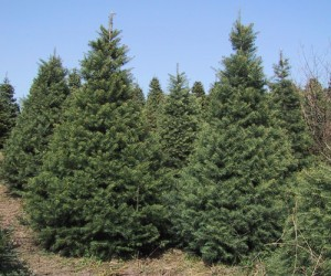 Concolor Fir Tree