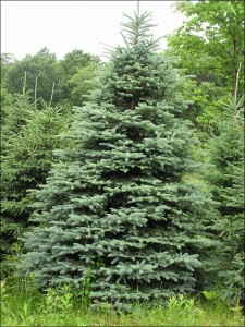 Concolor Fir Tree Pictures