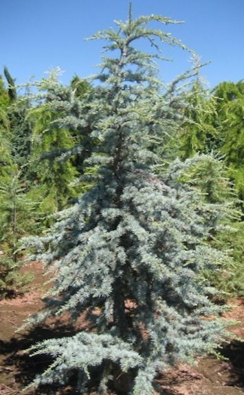 Dwarf Cedar Tree Varieties ~ Atlas cedar coniferous forest