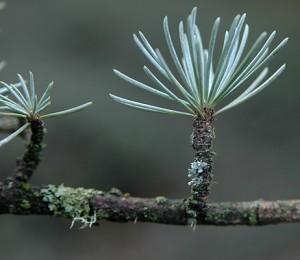 Atlas Cedar Needles