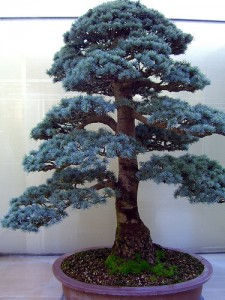 Blue Atlas Cedar Bonsai