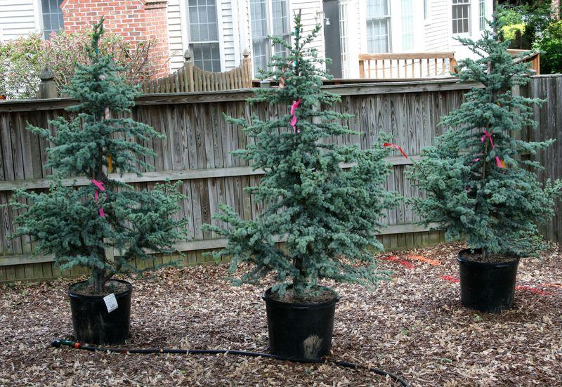 Blue Atlas Cedar Christmas Tree