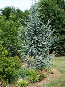 Blue Atlas Cedar Tree
