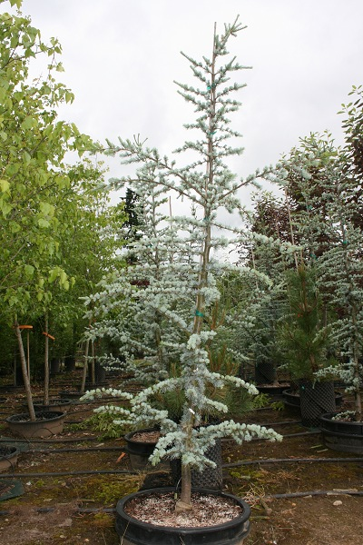 Blue Cedar Tree Varieties ~ Atlas cedar coniferous forest