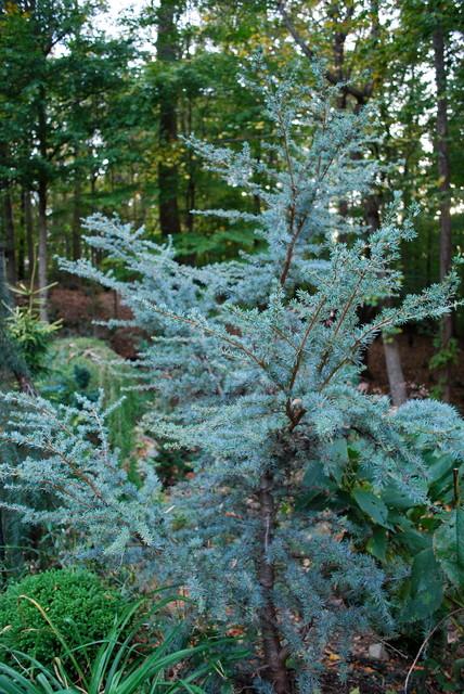 Horstmann Blue Atlas Cedar