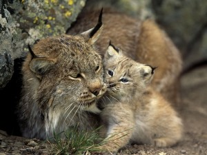 Iberian Lynx Baby