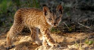 Iberian Lynx Cub