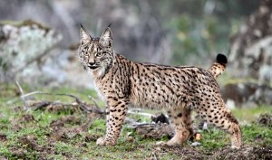 Iberian Lynx Images