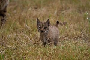 Iberian Lynx Kitten