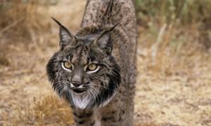 Iberian Lynx Pictures