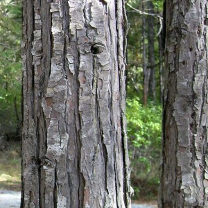 Port Orford Cedar Bark