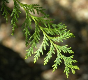 Port Orford Cedar Leaves