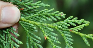 Port Orford Cedar Needles