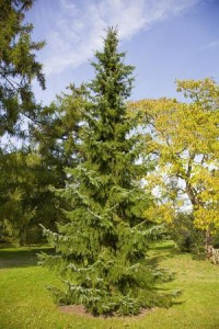 Serbian Spruce Images