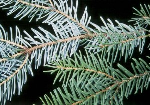 Serbian Spruce Needles