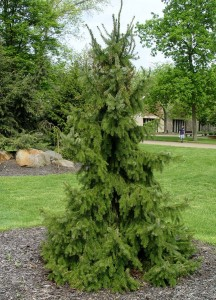 Serbian Spruce Pictures