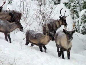 Woodland Caribou Snow