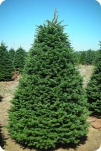 Noble Fir Christmas Tree