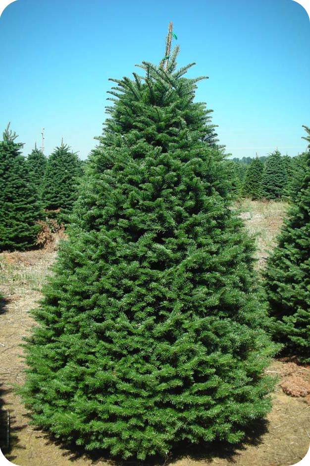 Christmas Trees Fir