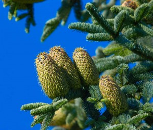 Noble Fir Cones