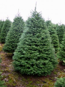 Noble Fir Pictures