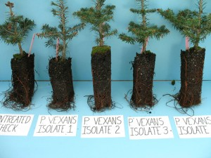 Fraser Fir Seedlings