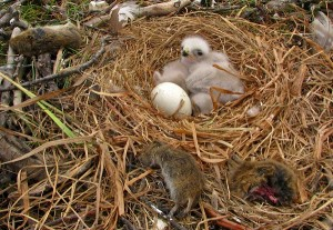 Rough Legged Hawk Eggs and Baby