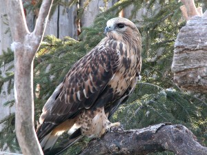 Rough Legged Hawk Light Phase