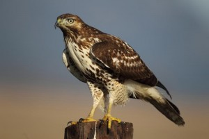 Rough Legged Hawk Perched