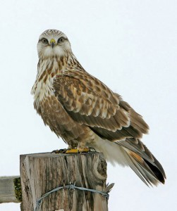 Rough Legged Hawk Photos