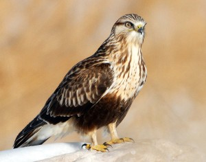 Rough Legged Hawk Pictures