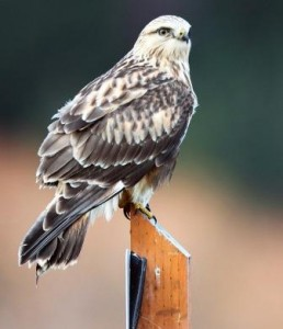 Rough Legged Hawks