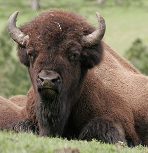 American Bison Head