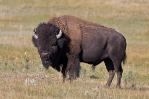 American Bison Pictures