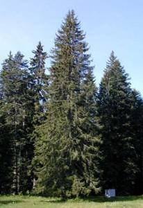 Engelmann Spruce Pictures