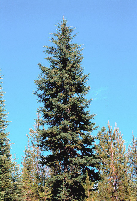 Christmas Tree Blue Spruce