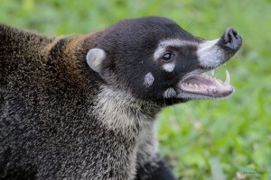 Coatimundi Teeth
