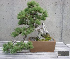 Limber Pine Bonsai