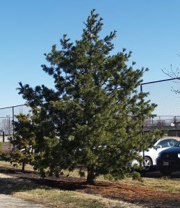 Limber Pine Pictures