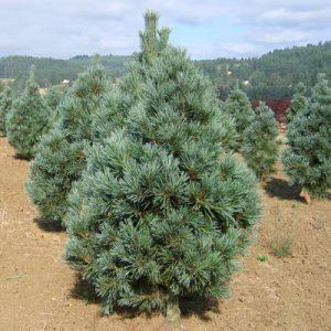 Vanderwolf Pine Pictures