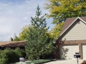 Vanderwolf Pine Tree