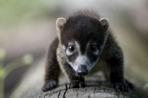 White Nosed Coati Baby
