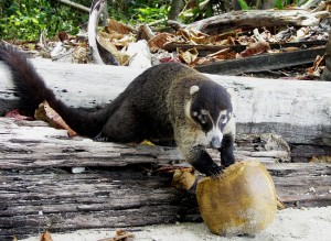White Nosed Coati Images
