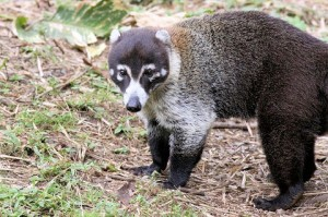 White Nosed Coati Pictures