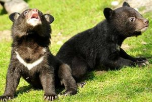 Asian Black Bear Cubs