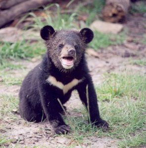 Juvenile Asian Black Bear Cub